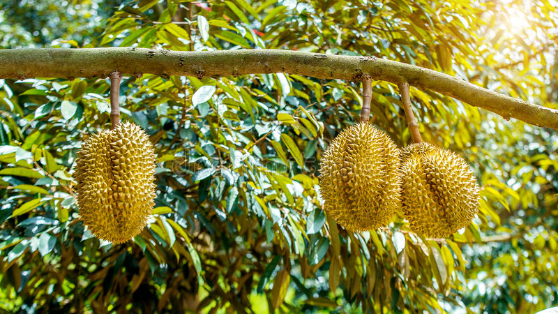 Durian on tree. Durian tree Durians are the king of fruits in Thailand royalty free stock photography