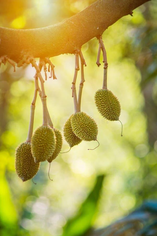 Durianboom, Vers durian fruit op boom stock fotografie