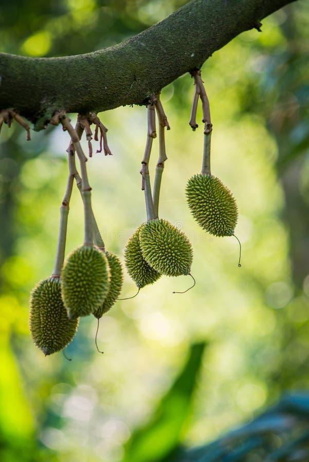Durianboom, Vers durian fruit op boom royalty-vrije stock afbeeldingen