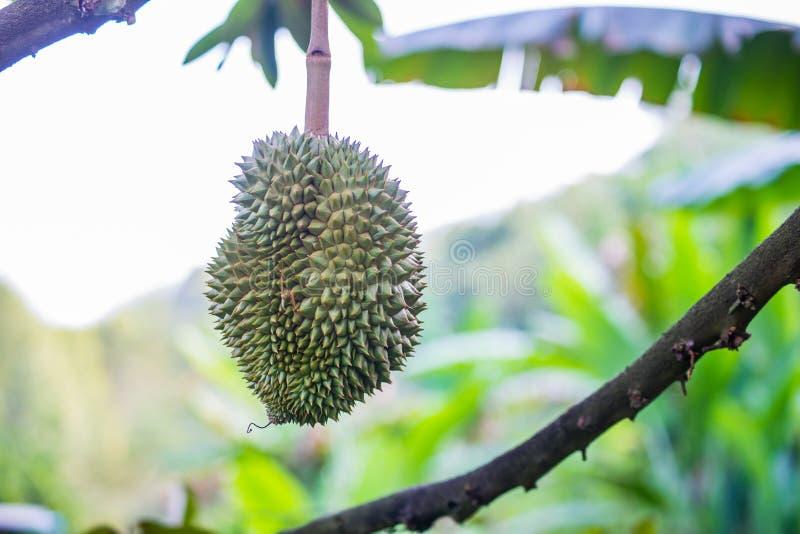 Durianboom, Vers durian fruit op boom stock foto's
