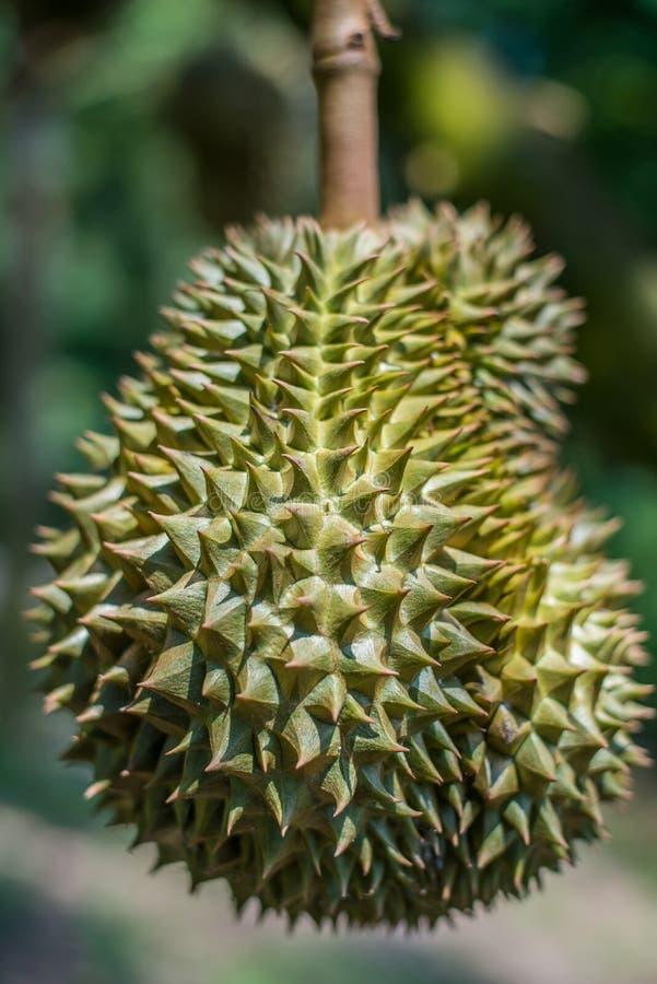 Durianboom, Vers durian fruit op boom stock afbeeldingen