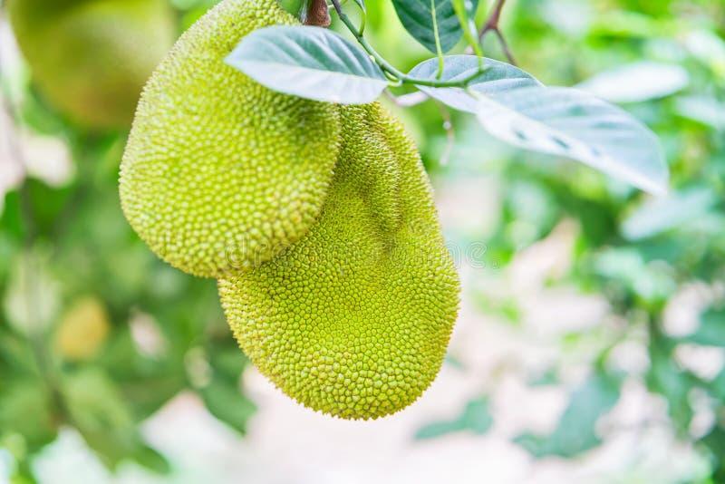 Durianfrucht, die im Baum in Can Tho Vietnam hängt lizenzfreies stockbild