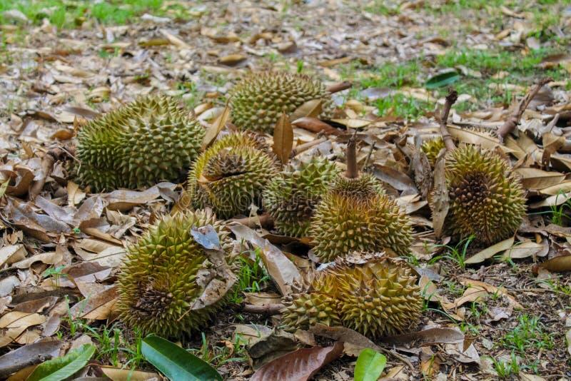 Durianfrukt på jordningen under trädet i trädgården arkivbild