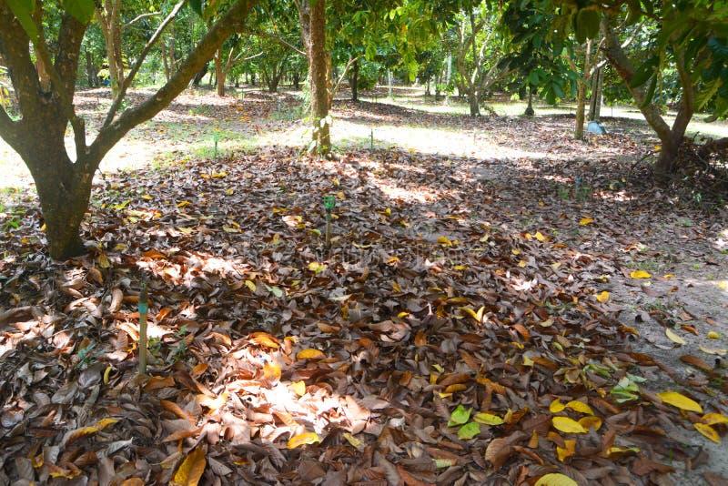 Durianfruktträdgård royaltyfri bild