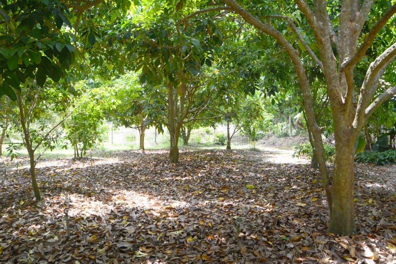 Durianfruktträdgård fotografering för bildbyråer