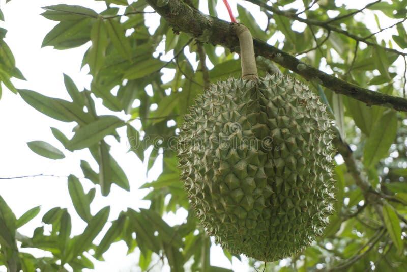 Durians da fruta de Tripical fotos de stock royalty free