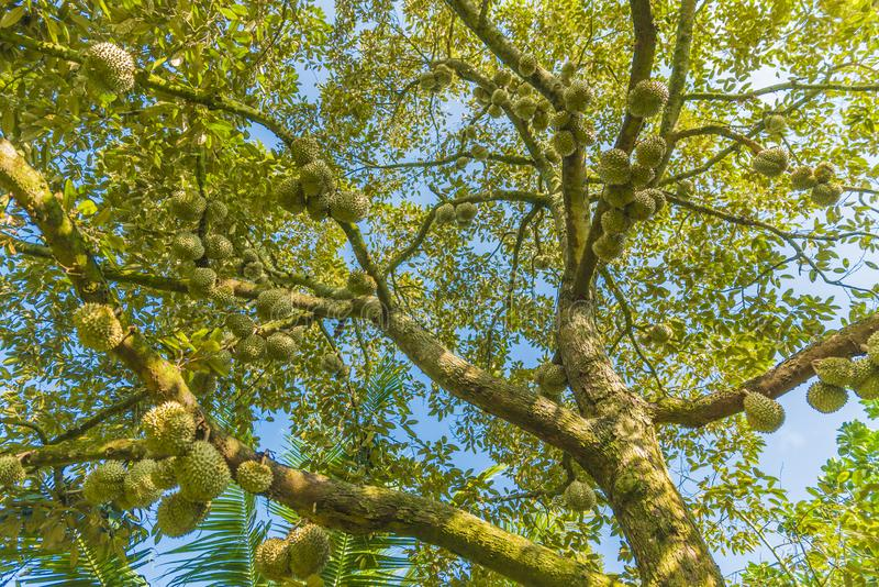 Durians. Many durians are on the big tree royalty free stock photo