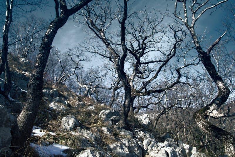 Durmast do carvalho de montanha, petraea do Quercus em Cáucaso fotos de stock