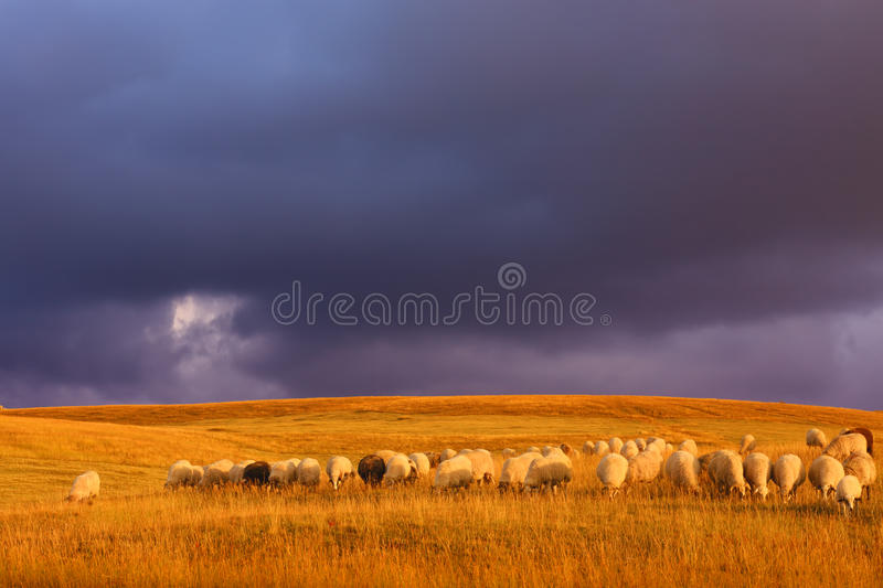 Download Durmitor Pastures With A Herd Of Sheep Before The Sunset Stock Photo - Image of beautiful, flock: 34269266
