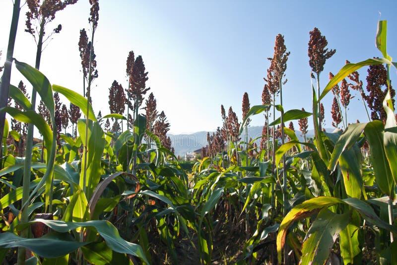 Durr rośliny w polu obrazy royalty free