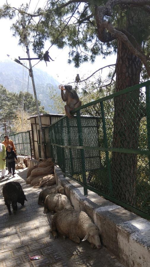 Durstiger Affe trinkendes fanta und Entspannung stockfotografie