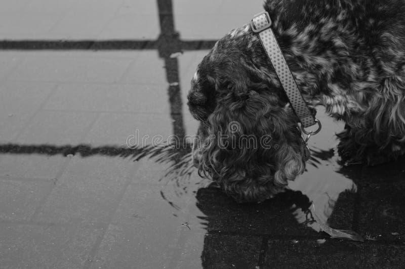 Durstiger Hund lizenzfreies stockfoto