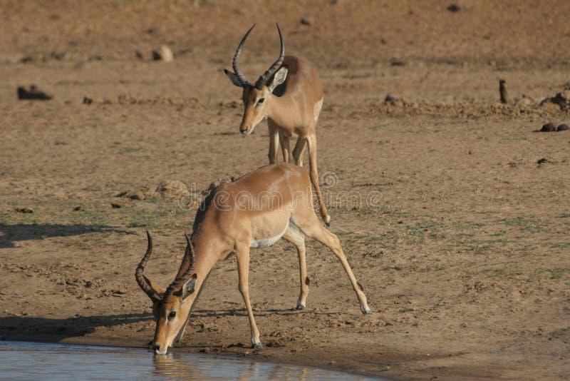 Durstiger Impala stockfotografie