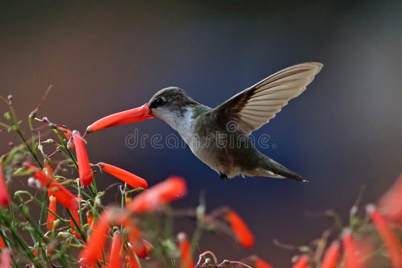 Durstiger Kolibri trinkendes necter lizenzfreies stockfoto