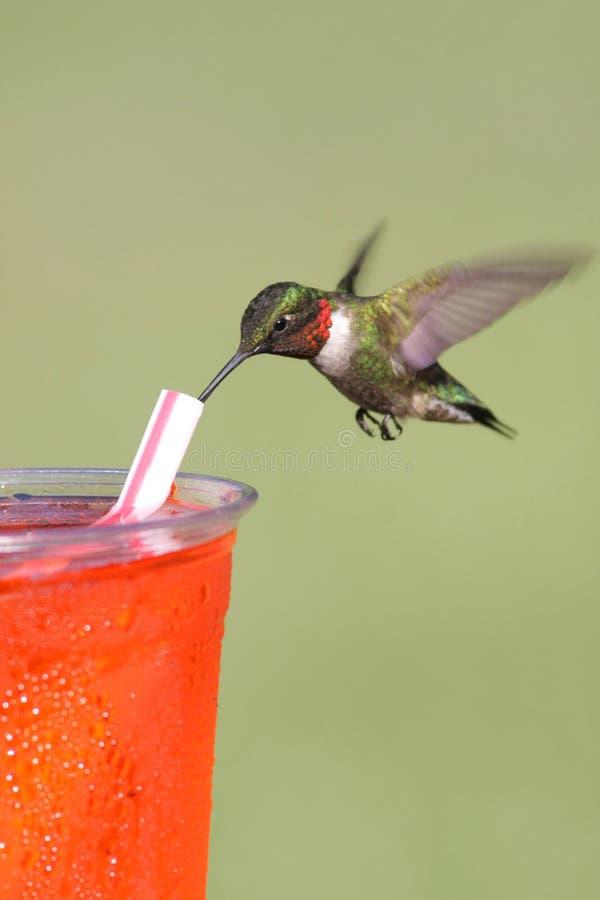 Durstiger Rubin-throated Kolibri lizenzfreie stockfotos