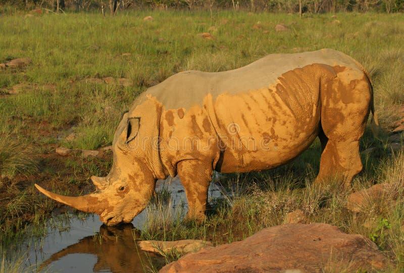Durstiges weißes Nashorn Stier stockbilder