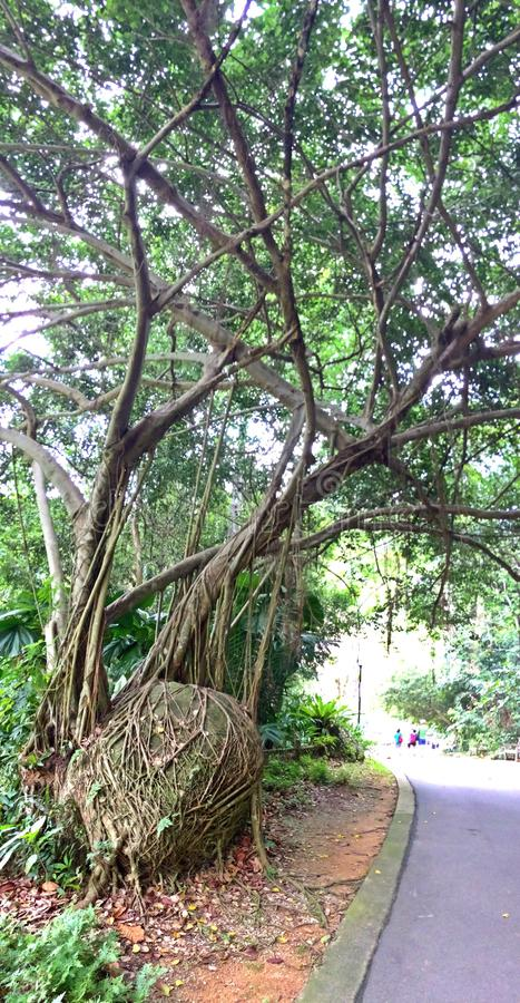 Dusiciel figi drzewo zdjęcia royalty free