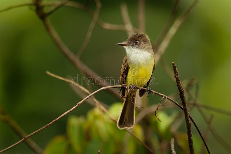 Dusky-покрытая мухоловка - птица воробьинообразного tuberculifer Myiarchus желтая, белая и коричневая в семье мухоловки тирана стоковое изображение rf