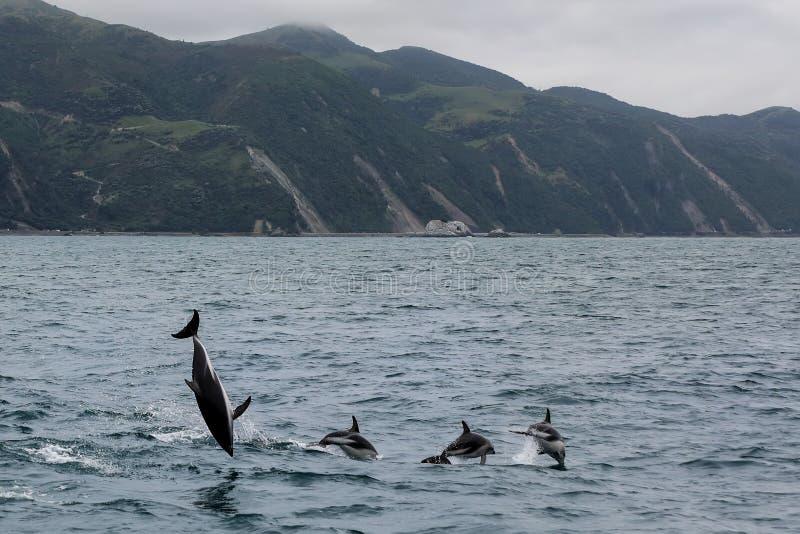Dusky дельфины плавая с побережья Kaikoura, Новой Зеландии стоковые изображения