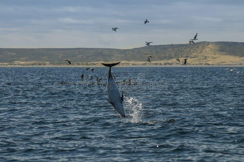Dusky дельфин, Патагония, Аргентина стоковая фотография
