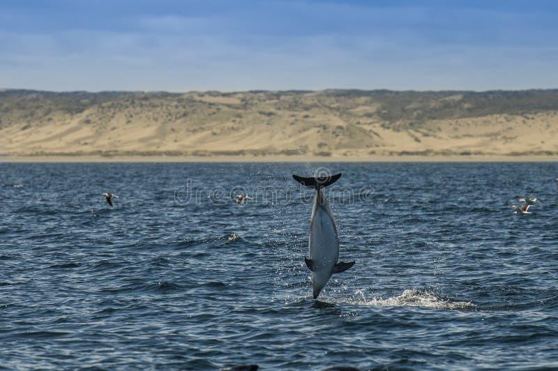 Dusky дельфин, Патагония, Аргентина стоковое изображение