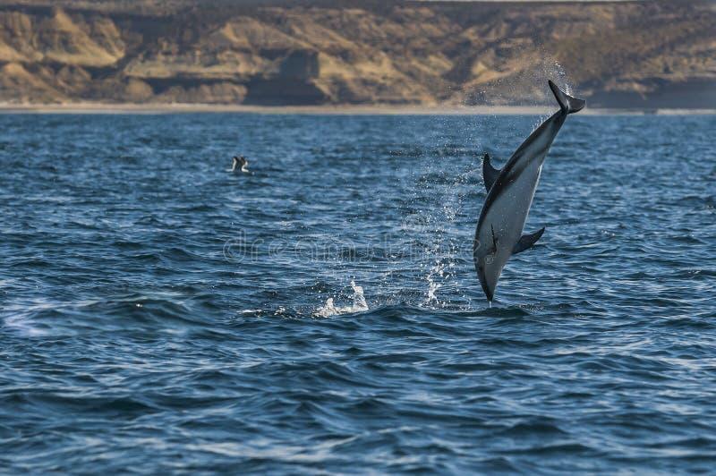 Dusky дельфин, Патагония, Аргентина стоковые фото