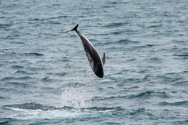 Dusky дельфин leaing из воды стоковые фотографии rf