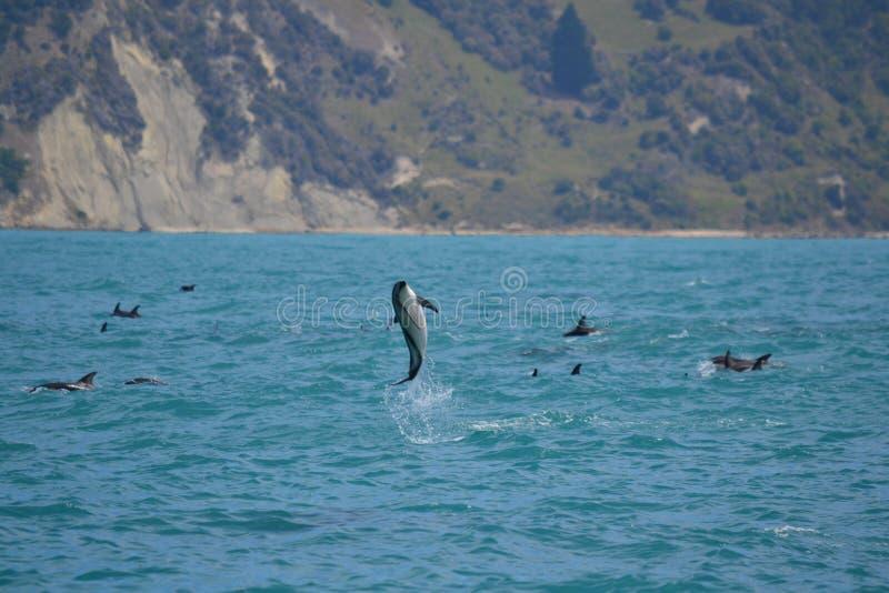 Dusky дельфины в Kaikoura, Новой Зеландии стоковое фото rf