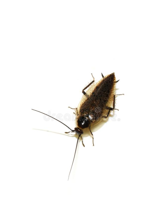 Dusky изолированное тараканом lapponicus Ectobius насекомого стоковое фото rf