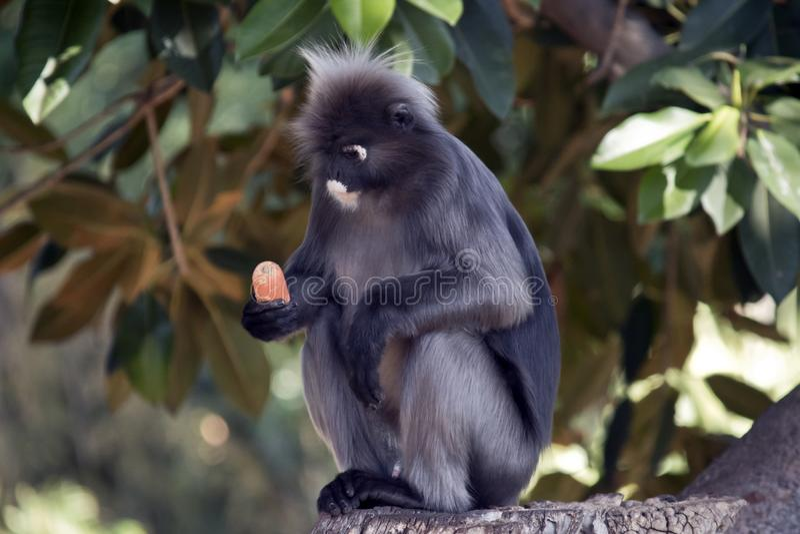 Dusky обезьяна и морковь лист стоковые изображения rf