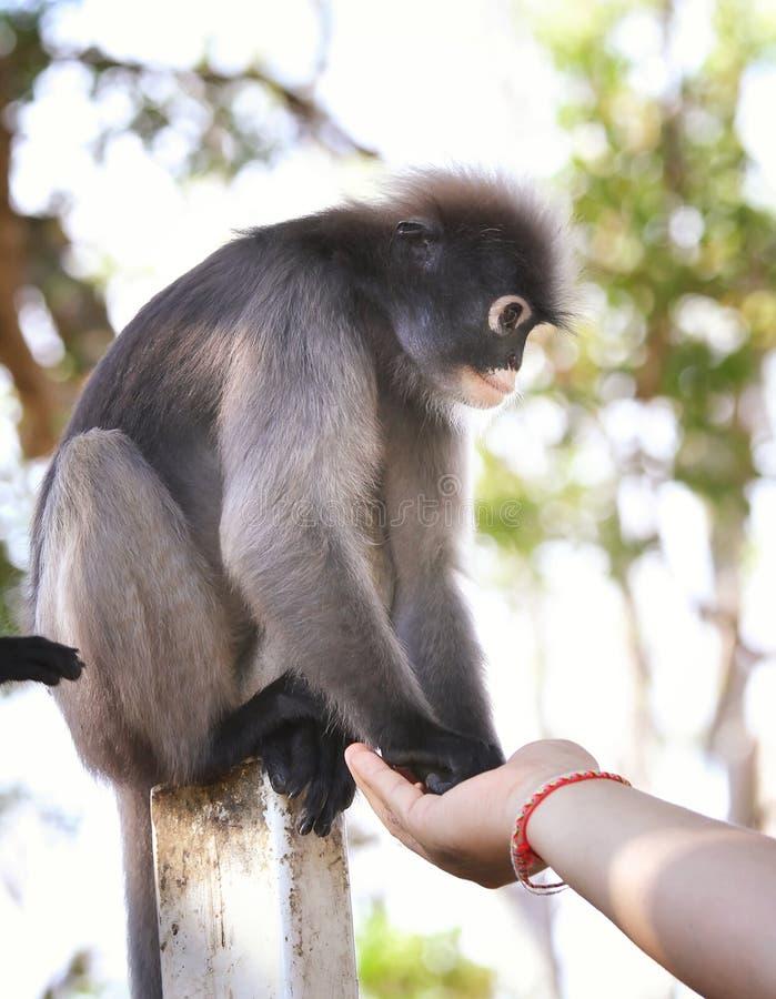 Dusky обезьяна листьев стоковое фото rf