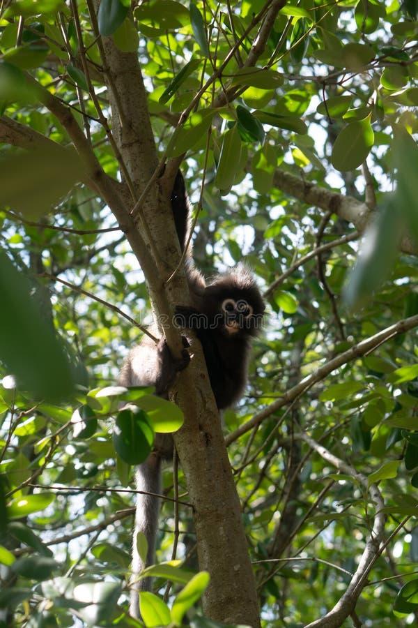 Dusky обезьяна лист на дереве в Таиланде стоковая фотография rf
