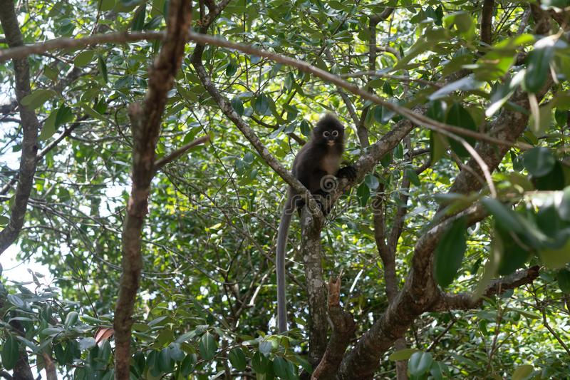 Dusky обезьяна лист на дереве в Таиланде стоковые фото