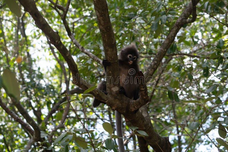 Dusky обезьяна лист на дереве в Таиланде стоковая фотография