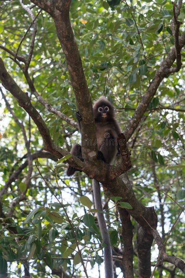 Dusky обезьяна лист на дереве в Таиланде стоковое фото rf
