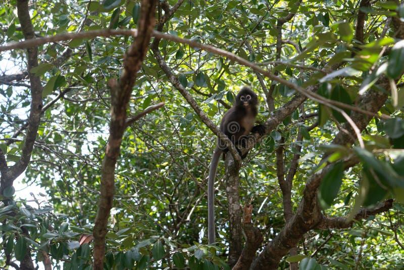 Dusky обезьяна лист на дереве в Таиланде стоковые изображения