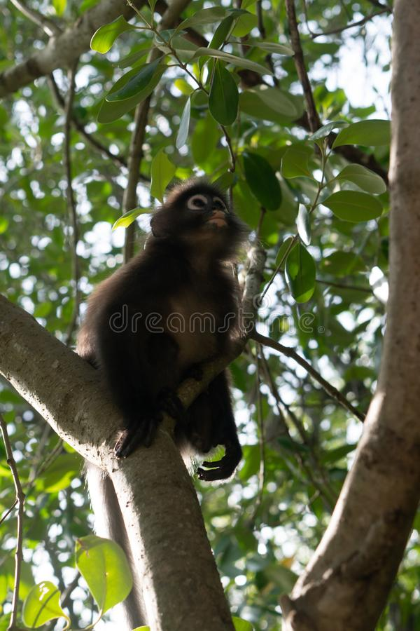 Dusky обезьяна лист на дереве в Таиланде стоковое фото