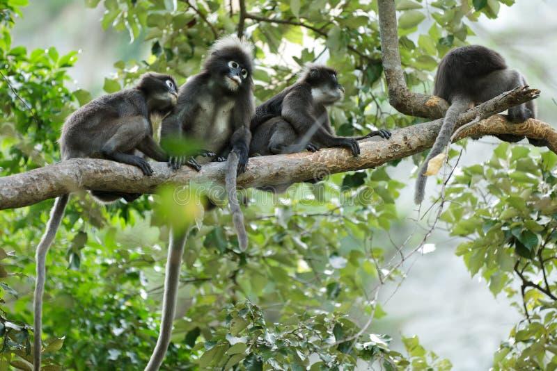dusky обезьяны листьев стоковое изображение rf