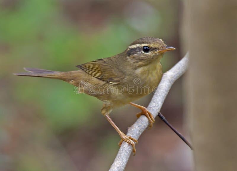 Dusky певчая птица стоковые изображения rf