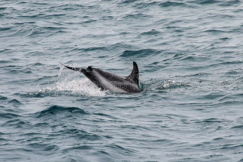 Dusky плавание дельфина с побережья Kaikoura, Новой Зеландии стоковая фотография