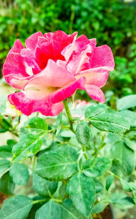 Dusky роза стоковое изображение