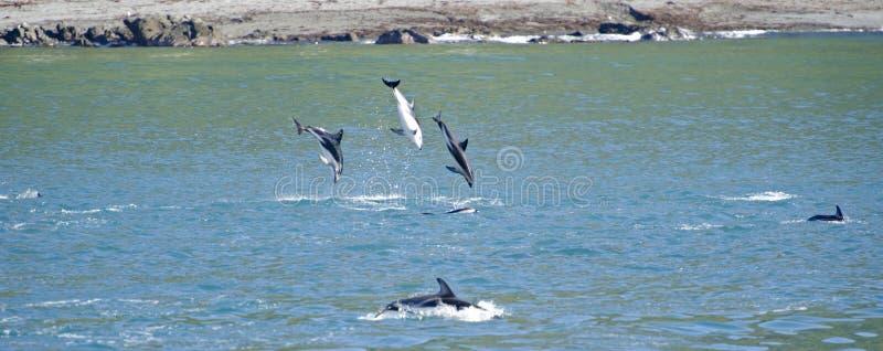 Dusky скакать дельфина стоковые фото