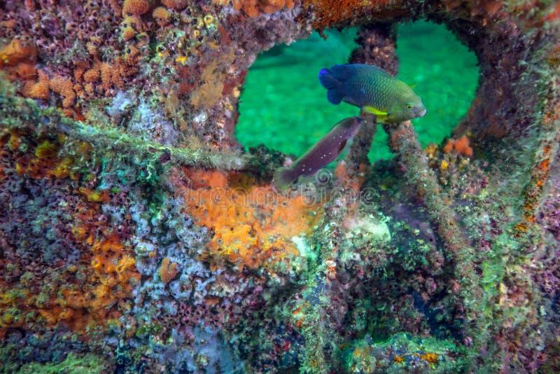 Dusky Damselfish - риф красного рифа искусственный стоковые изображения