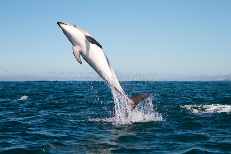 Dusky dolphin jumping. High off the coast of Kaikoura, New Zealand royalty free stock photos