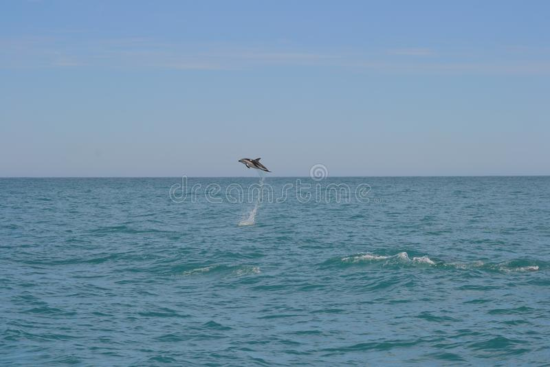 Dusky Dolphin in Kaikoira, New Zealand. Whilst on a whale watching trip we came across a group of 150+ Dusky Dolphins while socialising. This individual won the stock image