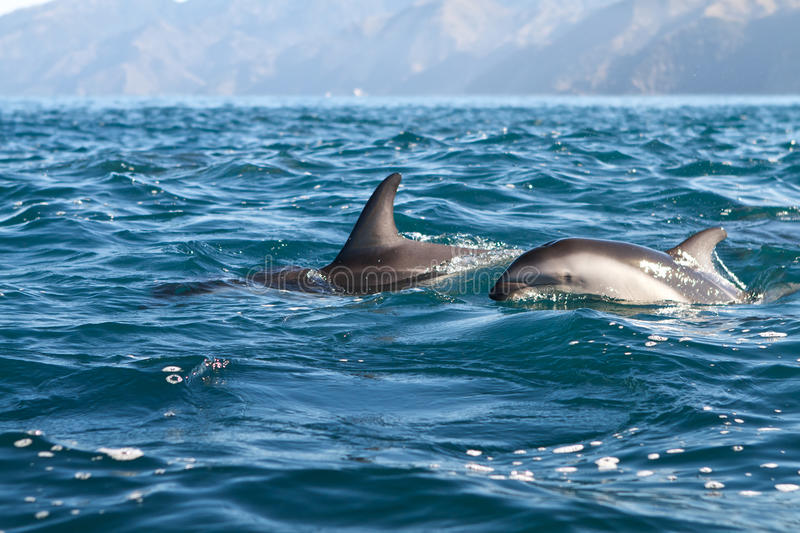 Dusky dolphins stock images