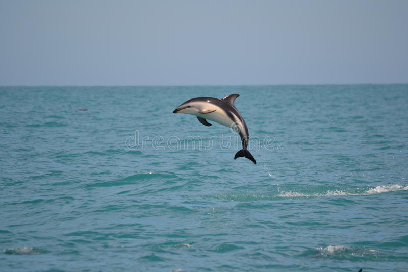 Dusky Dolphin in Kaikoura, New Zealand. I went out on a Sperm Whale Watching trip in Kaikoura but the star of the show was a pod of 150+ Dusky Dolphins stock photo