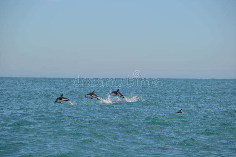 Dusky Dolphin in Kaikoura, New Zealand. Whilst on a whale watching trip we came across a pod of 150+ Dusky Dolphins socialising. I caught these 3 leaping in stock photography