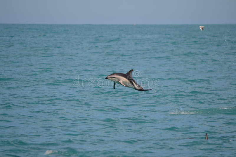 Dusky Dolphin in Kaikoura, New Zealand. Whilst on a whale watching trip we came across a pod of 150+ Dusky Dolphins socialising. This individual took a low and stock photo