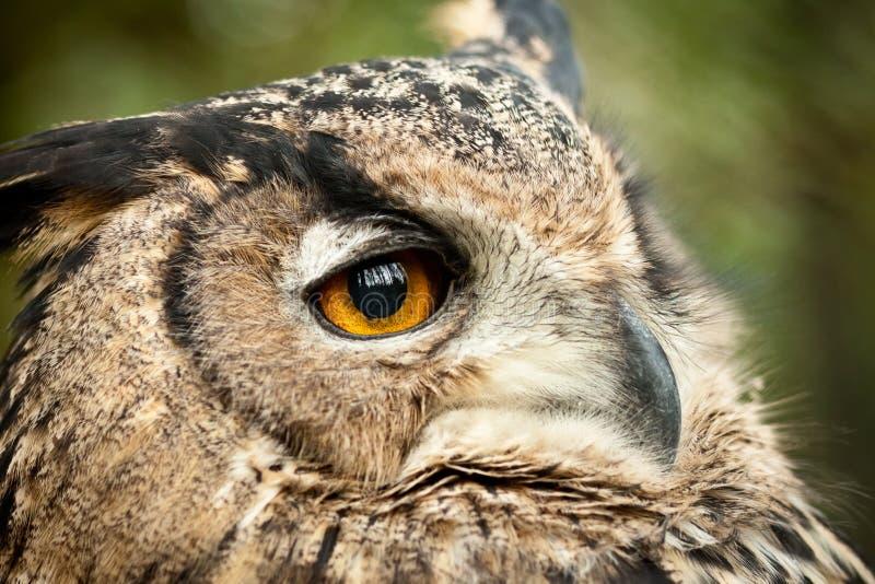 Download Dusky eagle owl stock photo. Image of animal, wisdom - 18392762